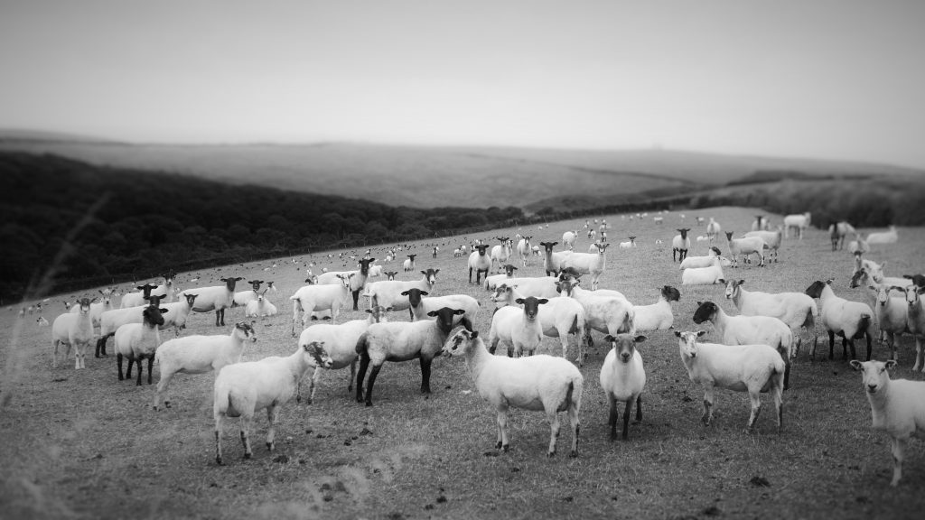 B&W photo of sheep in a field looking at the camera.